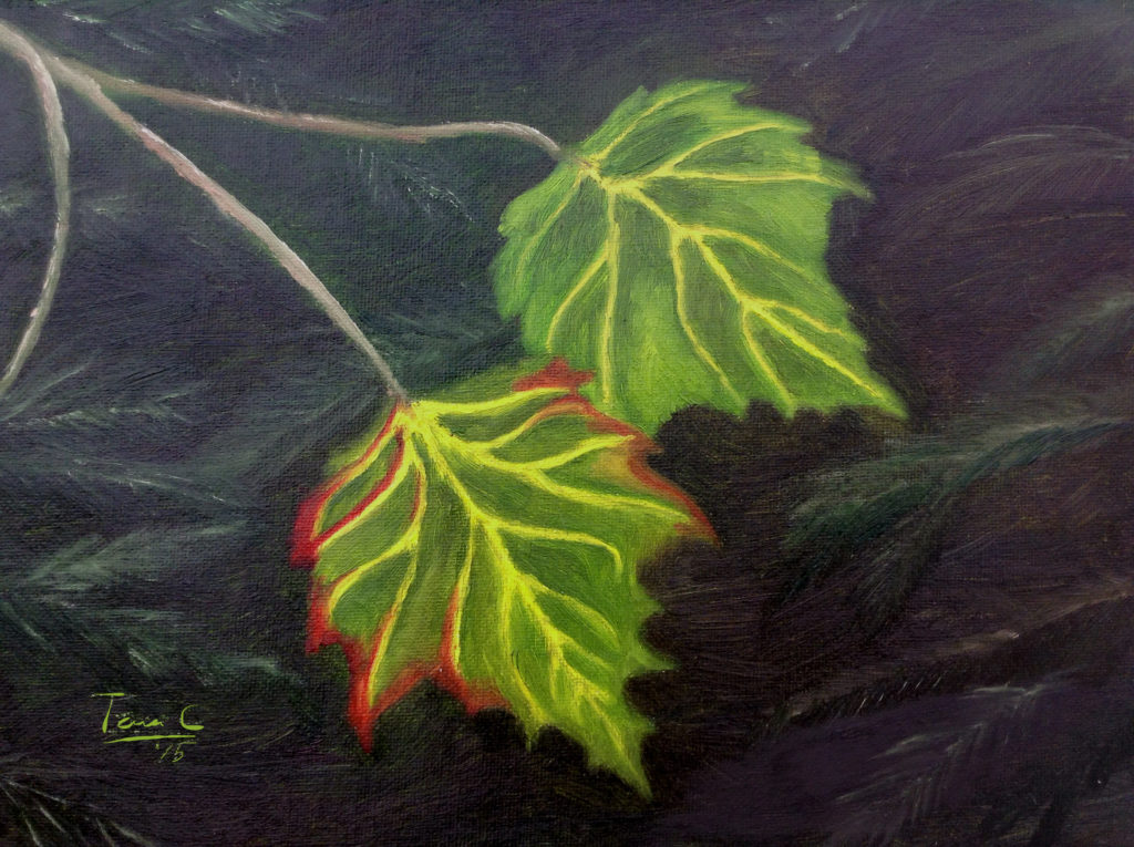 Two maple leaves on a branch with a backdrop of fur tree needles.